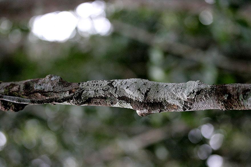 uroplatus_gecko